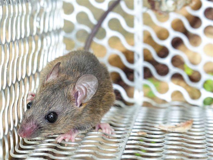 Rato dentro de uma gaiola